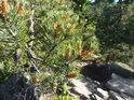 Mladé borové výhonky na Čtyřpaličaté skále.