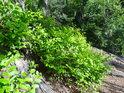 Sytě zelené borůvčí nahoře na Čtyřpaličaté skále je ještě krásnější na sluníčku.