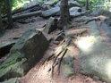 Smrky mívají velice zajímavé kořeny.