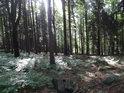 Les se smrky jeden jako druhý bude asi sázený.