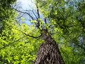 Bukové větve se sytě zelenými listy objímají uschlý dub.