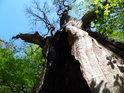 Matyldin dub je již v této podobě vidění více, než sto let.