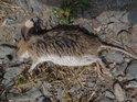 Mrtvá myš pod skalou v Podbřezí.