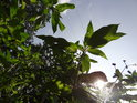 Slunce proniká přes listy netýkavky jakož i vedení vysokého napětí.