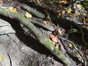 Obnažené javorové kořeny.