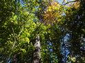 Nastupující podzim se javoru dotkl dříve, buk ještě drží zeleň.