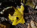 Padlý javorový list se vtipnou dírkou.