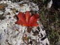 Osamělý hnědorudý javorový list na bílém balvanu.