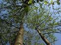 Pohled do korun mladých olší.