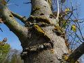 Detail lišejníku na kůře stromu.