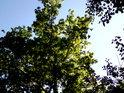 Pohled do koruny mladého dubu.