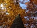 Pohled pozemšťana do korum vzrostlých podzimem vybarvených buků.
