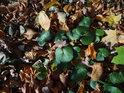 Kopytník se počátkem listopadu drží stále zelený.