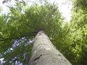 Krásný lesní buk s listy zalitými Sluncem na počátku léta.