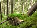 Zpola vyvrácený smrk již hostí kapradiny a jinou lesní zeleň.