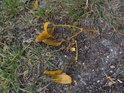 Odumřelé jmelí se povaluje po okolí napadené vrby.
