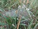 Pavučiny v rose na břehu Františkova rybníka.