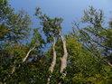 Jasany původně rostly mezi dalšími stromy, po částečném vykácení však je vidět, kde bývalo třeba ochrany.