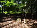 Bukový pařez a dohasínající zeleň na živé bukové větvi tvoří zajímavý barevný kontrast.