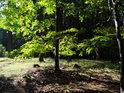 Rozhraní lesa mýtinu s nádhernými prosluněnými bukovými listy.