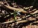 Mezi tlejícími bukovými větvemi se za ztížených podmínek dere na svět mladý buk.