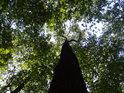 Dub, který táhne do výšky.