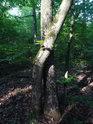 Nalomený dub, jako by objímal nenalomeného sourozence.