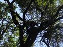 Nepřehledná koruna dubu.