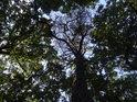 Borovice mezi okolními duby zaujme, životem ovšem nepřekypuje.