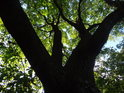 Pohled do koruny statného dubu v severní části chráněného území.