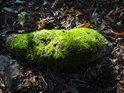 Kus kořene se dostává nad povrch zemský a hnedle je napaden mechem.