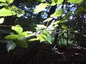 Sluneční zátiší v bukovém lese.