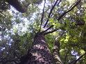 Kdo by chtěl určovat stromy jen podle listí, chybil by. Duby mezi buky mají své listy poněkud výše.
