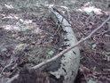 Rozkládající se křivý kmen v lesním přítmí.
