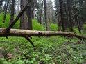 Téměř ležící kmen smrku již dávno opustil život, ale les kolem se zelená.
