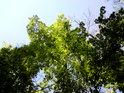 Listí na různých druzích stromů dorůstá v různých obdobích.