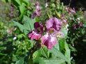 Netýkavka žláznatá je podél Tiché Orlice častou rostlinou.