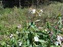 Netýkavka žláznatá často přečnívá okolní vegetaci.