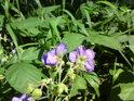 Květy violek se nesměle rozvíjejí.