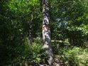 Vnější hraniční znak chráněného území na javoru na okraji lesa.