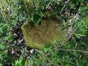 Mechem zcela zarostlý nízký dubový pařez.