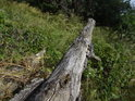 Dubový pahýl v zajímavé šikmé poloze kousek nad zemí.