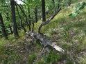 Ležící dubová souška v lesním svahu.