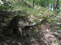 Dubový vývrat napovídá ledasco o někdejším životě padlého stromu.
