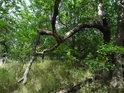 """Pokud by měkdo chtěl vidět zdroj pořekadla """"růst jako dříví v lese"""", tak tu má názorný příklad."""