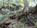 Kořeny smrku prolézají mezi uvolněnými kameny a trochu ten svah zpevňují.