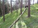 Padlá borovice míří svou špicí dolů.