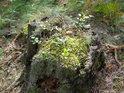 Pařez obrostl mechem a z mechu vyrazilo borůvčí.