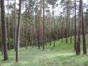 Na jižním svahu nad hadcovými skalami rostou borovice podobné jedna druhé.