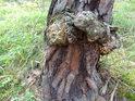 Poranění borovice překonala, ale jizva zůstala pořádná.